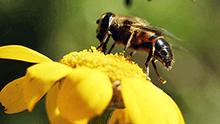 Abeille sur une fleur, en train de récolter du pollen.